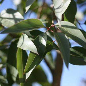 64_eucaliptuscitriodora