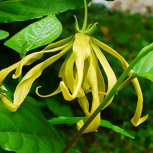 cananga-fruticosa