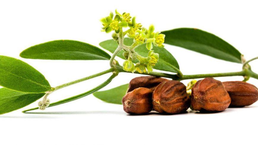 Descubre los beneficios del aceite de jojoba