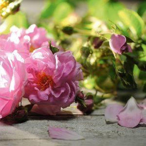 rosas_de_bulgaria